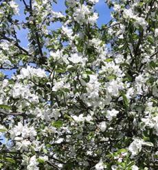 pavasaris obelys žydi